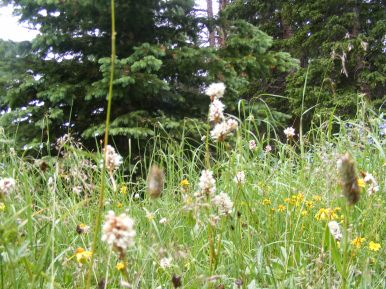 Flowery meadow on the Fossil Ridge Trail No. 478, southeast of Boulder Lake
