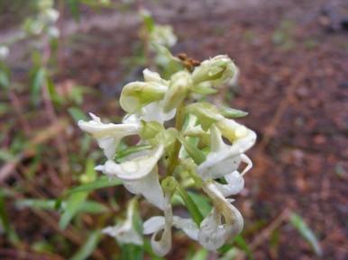 Pedicularis racemosa in Orobanchaceae, south of Boulder Lake