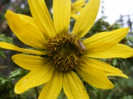 A species of sunflower found south of Boulder Lake in the Fossil Ridge area