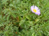 This daisy's flower is obvious but which leaves belong to the plant?