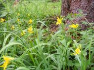 Heartleaf Arnica south of Boulder Lake, thriving in the spruce forest