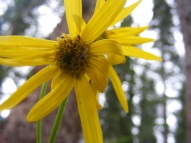 Pretty sunflower, in the forest about Boulder Lake