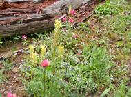 A small garden of fuchsia paintbrush, lousewort and Jacob's ladder