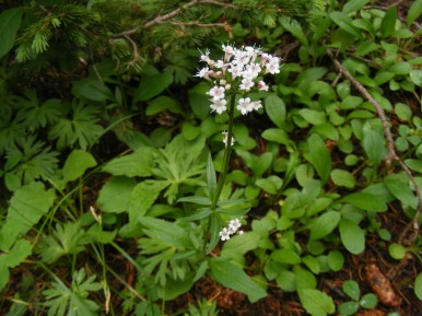 What looks like a species of Valerian, near boulder Lake