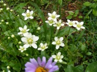 Fringed Parnassia, part of the Grass-of-Parnassus Family, near Boulder Lake, and a daisy growing below