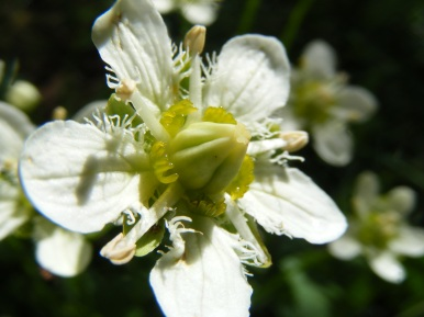 Parnassia fimbriata, part of Parnassiaceae, found near Boulder Lake - a small but incredibly intricate flower.