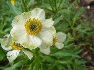Perhaps Anemone narcissiflora, part of Ranunculaceae, near Boulder Lake