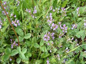 A purple member of the Pea Family, growing amid strawberries, near Boulder Lake