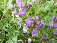Purple member of Fabaceae, near Boulder Lake