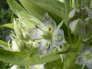 Monument Plants are noticeable for their tall growth but their multitudinous flowers are fine to look at up close