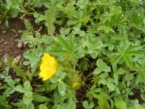 A species of Potentilla in the Rose Family, near Boulder Lake