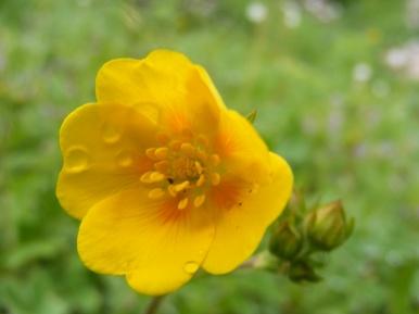 Potentilla spp., in Rosaceae, near Boulder Lake