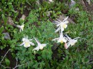 Columbines growing near Boulder Lake