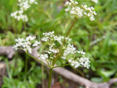 Close up of a member of the Parsley Family, near Boulder Lake