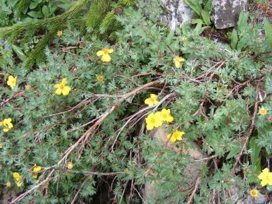 Dasiphora fruticosa, part of Rosaceae, near Boulder Lake