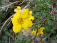 The ubiquitous Shrubby Cinquefoil, part of the Rose Family, near Boulder Lake