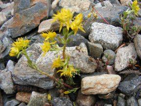 Sedum lanceolatum, or Yellow Stonecrop, is part of Crassulaceae, here found near Boulder Lake