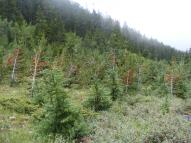 Some beetle-killed saplings on Snowslide Gulch
