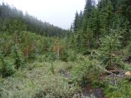 Saplings of spruce in an avalanche path, Snowslide Gulch