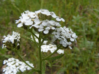 One of the few member of the Aster Family that I am willing to identify by species, this Yarrow has possible medicinal value