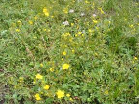 Another species of Potentilla, found near the Gold Creek Trailhead