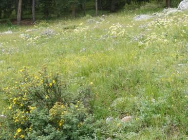 Wildflower-strewn meadow adjacent to the Gold Creek Trailhead