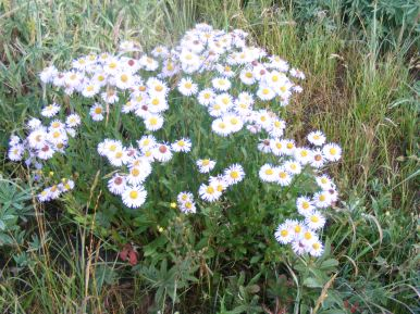 Daisies galore on West Brush Creek