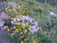 Yellow and mauve daisies on the edge of the West Brush Creek Road No. 738.2A on the Gunnison National Forest
