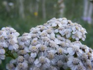A closeup of Achillea millefolium, part of Asteraceae, on West Brush Creek