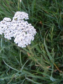 Yarrow seems like so many small white sunflowers, and is thus part of the Aster Family