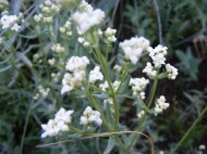 Galium boreale, part of Rubiaceae, growing on West Brush Creek