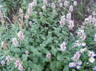 Agastache urticifolia, part of Lamiaceae, growing on West Brush Creek