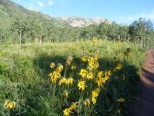 Sunflowers growing along Gunnison National Forest Road 738.2A