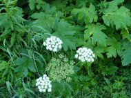 This looks like Cow Parsnip, part of the Parsley Family