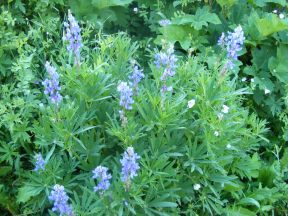 A lupine growing on West brush Creek