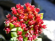 Sedum integrifolium, part of Crassulaceae, on upper West Brush Creek