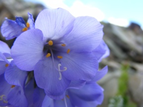I think that this flower above Twin Lakes is Sky Pilot, part of the Phlox Family