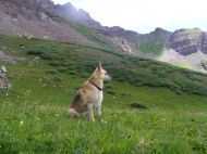 Draco, the regal shepherd king of the alpine, above Twin Lakes