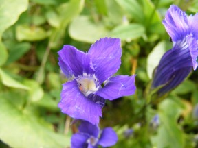 A Fringed Gentian, part of the Gentian Family, near Twin Lakes