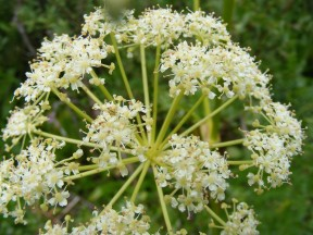 A member of Apiaceae below Twin Lakes