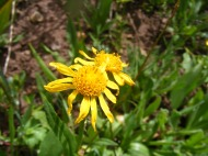 A yellow member of Asteraceae, below Twin Lakes