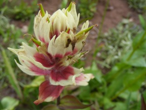 Beautiful member of Castilleja spp., below Twin Lakes