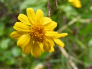 A small yellow member of Asteraceae, below Twin Lakes