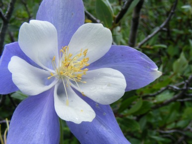Aquilegia coerulea, part of Ranunculaceae, below Twin Lakes