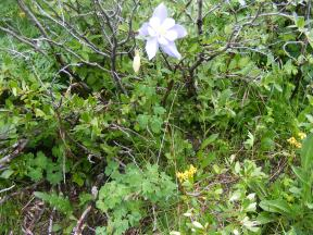 Blue Columbine, part of the Buttercup Family, below Twin Lakes