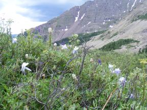 A small garden of Columbine below Twin Lakes, in the Maroon Bells - Snowmass Wilderness