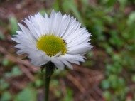 A small member of Asteraceae found below Twin Lakes
