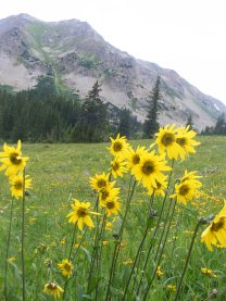 Aspen Sunflower, part of the Aster Family, below Twin Lakes