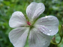 Closeup of what might be White Geranium, found on Middle Brush Creek below Teocalli Mountain