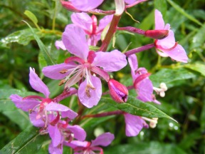 Multiple blooms of Fireweed found on Middle Brush Creek